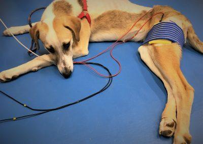 физиотерапия и рехабилитация на кучета и котки / електростимулация на Кая