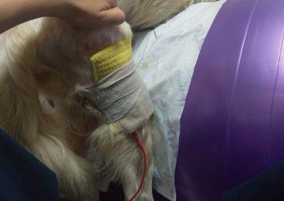 физиотерапия- електростимулация на куче с атрофия