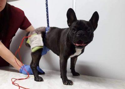 Физиотерапия - електростимулация на куче